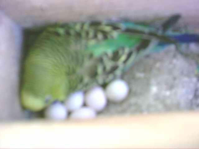Fotos de nidos de periquitos australianos 34